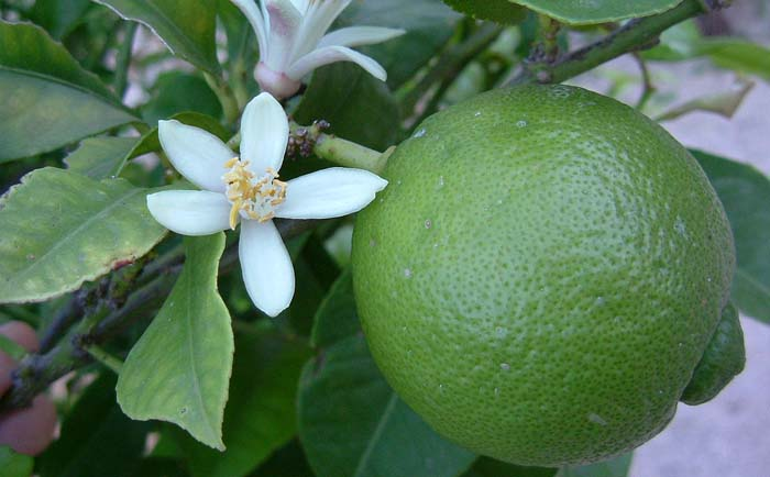 Lime – Natural Benefits and Uses