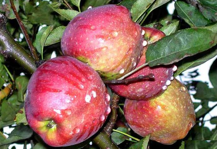 Apple – Natural Benefits and Curative Properties