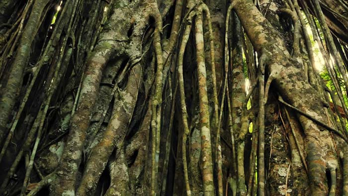 Banyan Tree Bark