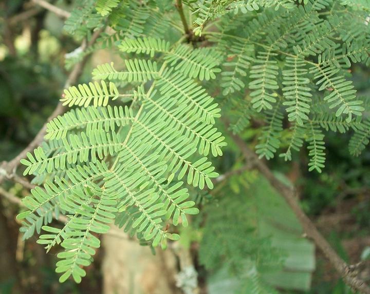 acacia leaves