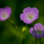 American Cranesbill Herb – Uses And Side Effects