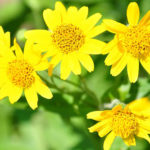 Arnica Herb