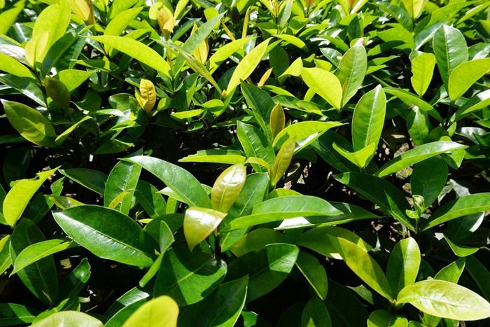 Balsam of Peru's Herb