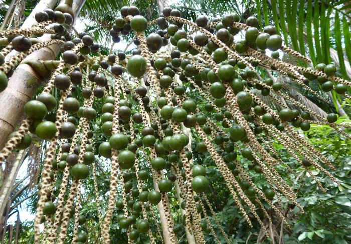 Betel Palm Herb