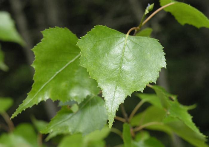 Birch Herb