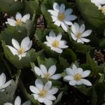 Bloodroot Herb – Uses And Side Effects