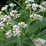 Boneset Herb – Uses And Side Effects