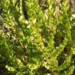 Buchu Herb