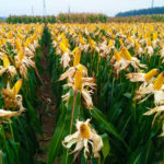 Maize – Natural Benefits and Curative Properties
