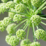 Angelica Herb – Uses And Side Effects
