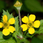 Avens Herb – Uses And Side Effects