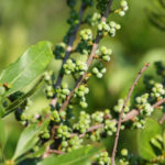 Bayberry Herb