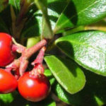 Bearberry Herb – Uses And Side Effects