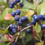 Bilberry Herb