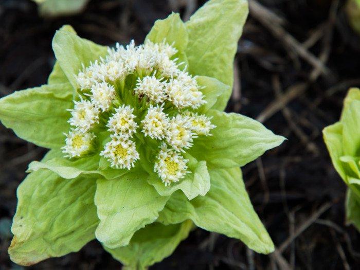 butterbur herb