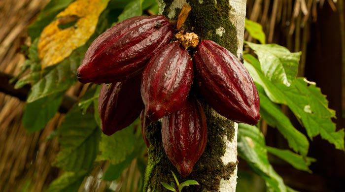 Cacao Herb