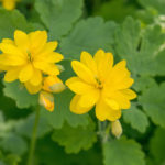 Celandine Herb – Uses And Side Effects