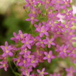 Centaury Herb – Uses And Side Effects