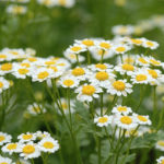 Chamomile Herb – Uses And Side Effects
