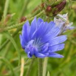 Chicory Herb – Uses And Side Effects
