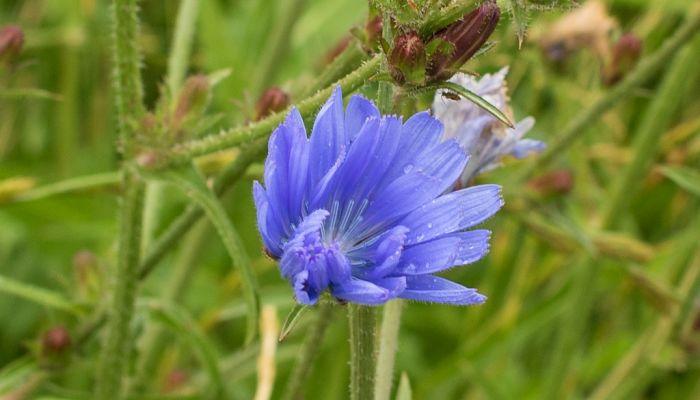 chicory herb
