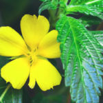 Damiana Herb – Uses And Side Effects