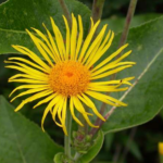 Elecampane Herb – Uses And Side Effects