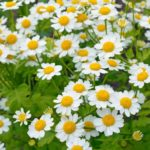 Feverfew Herb – Uses And Side Effects