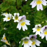 Eyebright Herb – Uses And Side Effects