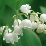 Lily of The Valley Herb – Uses And Side Effects