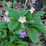 Lungwort Herb