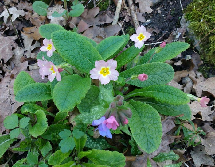 Lungwort Herb – Uses And Side Effects